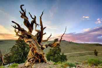 Топ 10 самых старых деревьев в мире (2020)