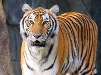 Вот и наступил 2010 год тигра!