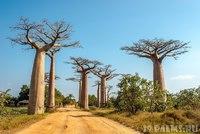 Супер дерево БАОБАБ (12 ФОТО)