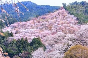 Гора Ёсинояма (Mount Yoshinoyama) — покрытая тысячами вишневых деревьев