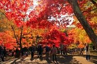 Момидзи — традиция любования красными клёнами по японский