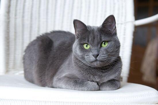 Семь лучших русских пород кошек