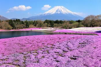 Поля с цветущей шиба-закурой в Японии (Fields with blossoming Shiba-zukira)
